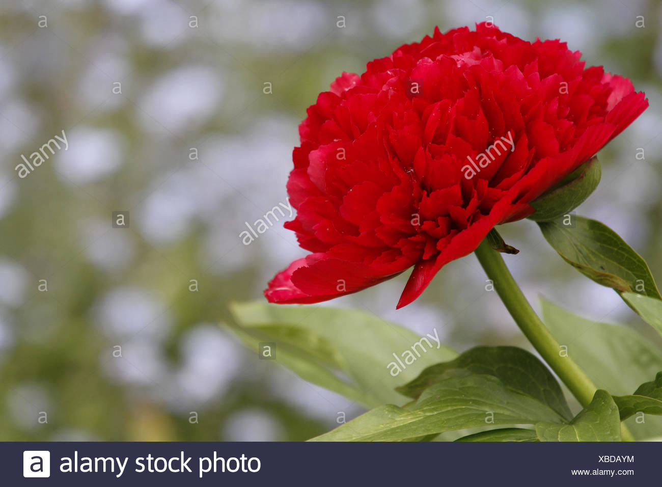 flower, plant, peony, romanticism, red, garden, flower, plant, peony, romantic, Stock Photo