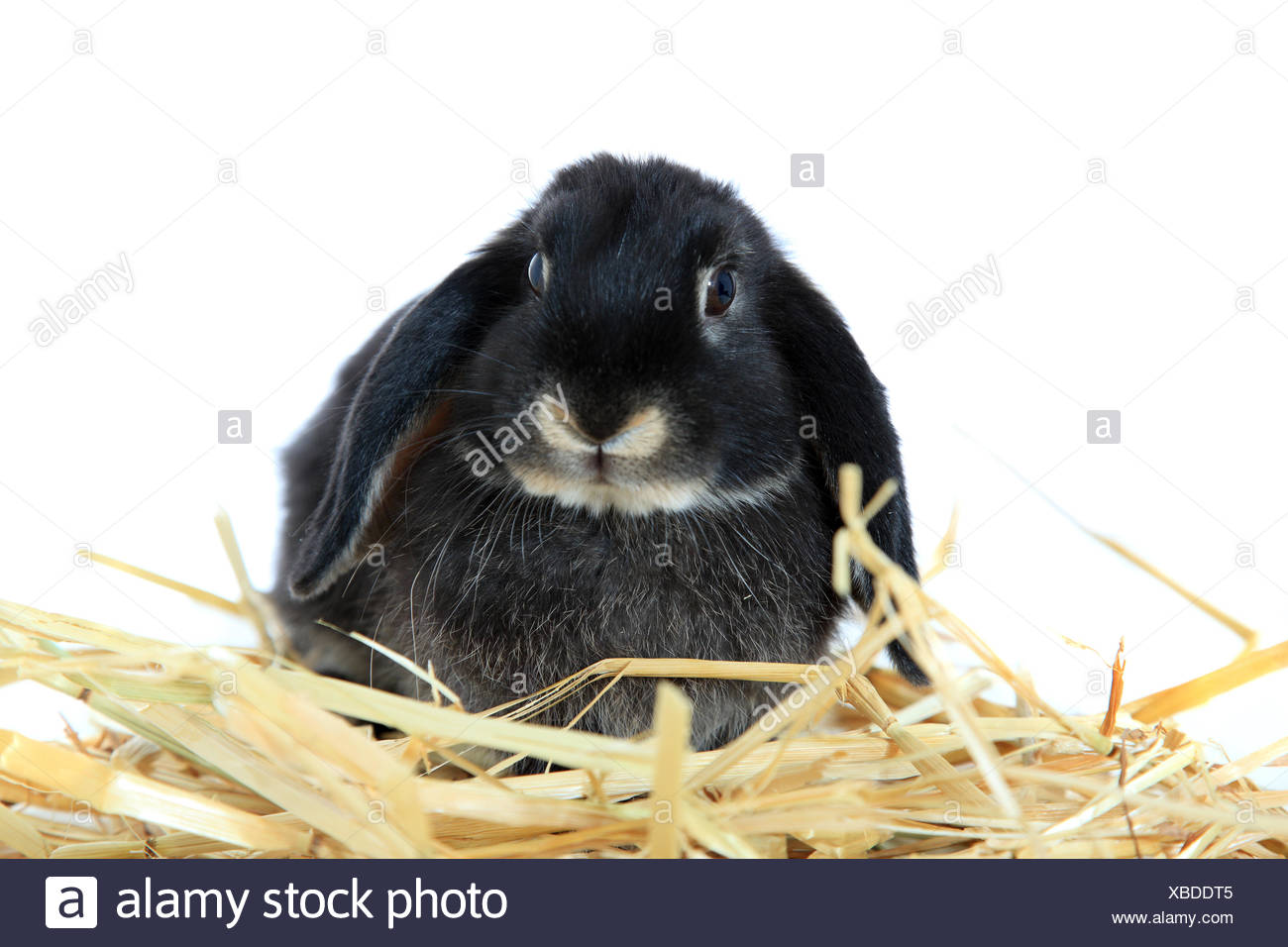 Black rabbit - Stock Image