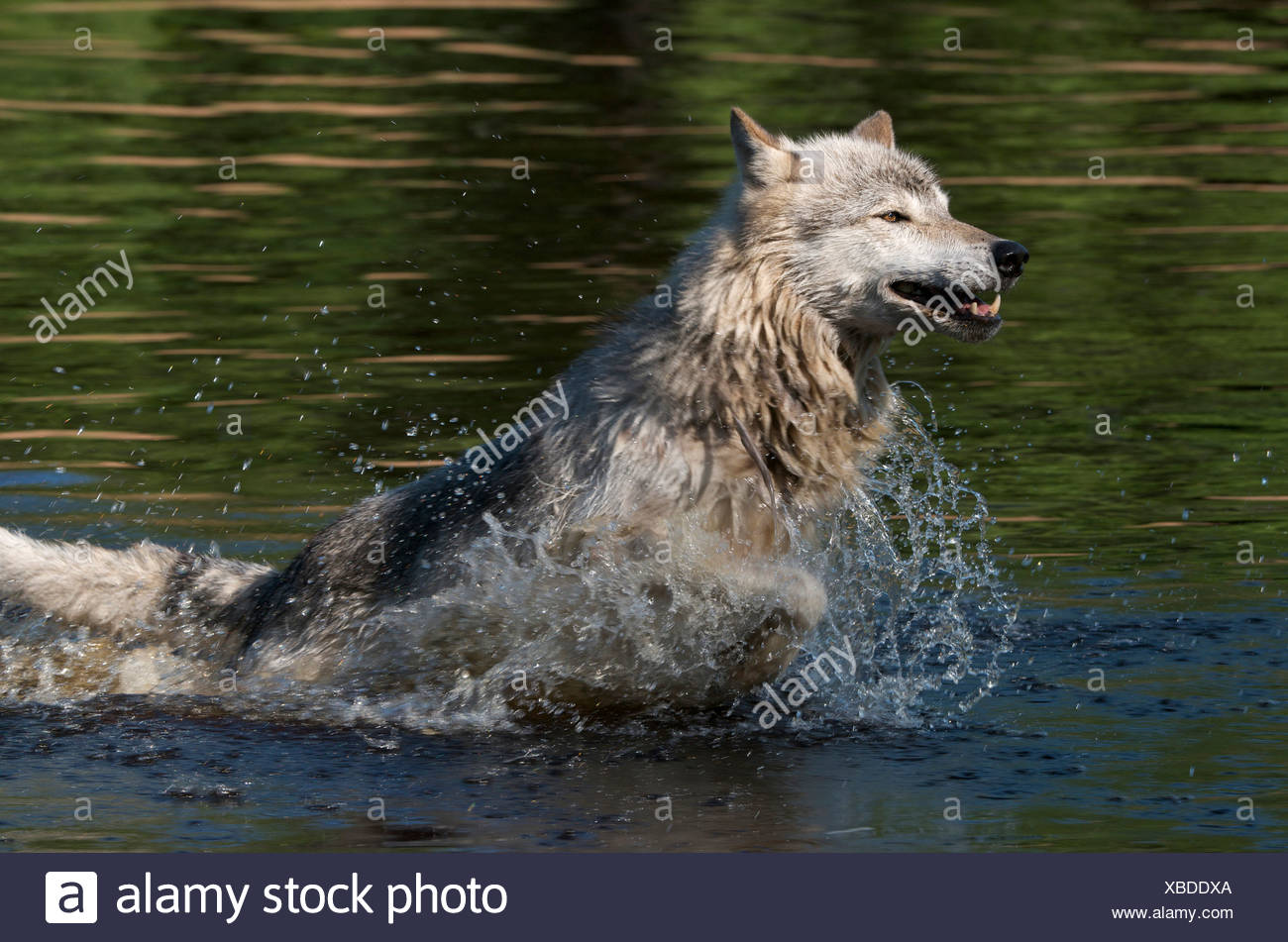 North American Timber Wolf Stock Photos & North American Timber Wolf