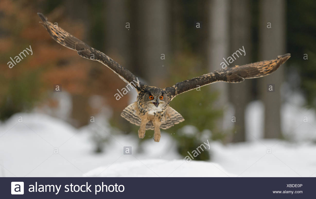 Eurasian eagle-owl (Bubo bubo) flying over snow, Moravia, Czech Republic - Stock Image
