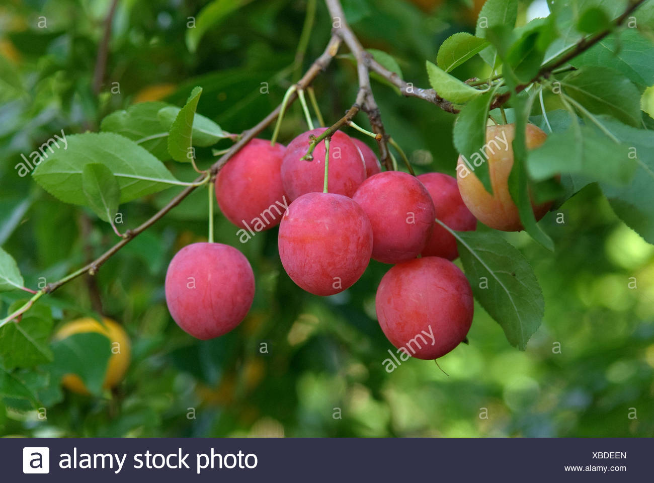 Cherry Plum Myrobalan Plum Prunus Cerasifera Cherry Plums On A