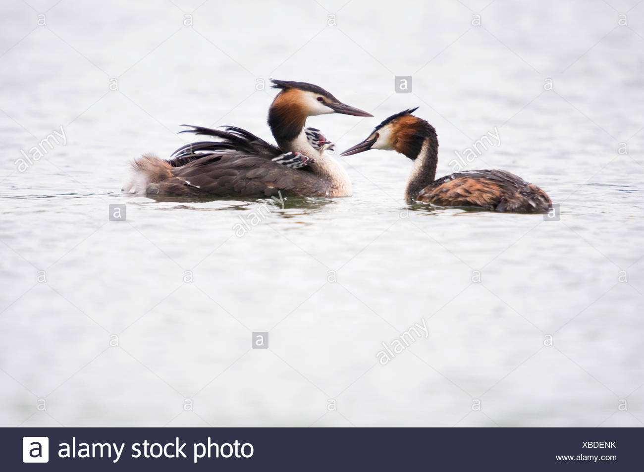 Two young Great Crested Grebes are fed with a little fish - Stock Image