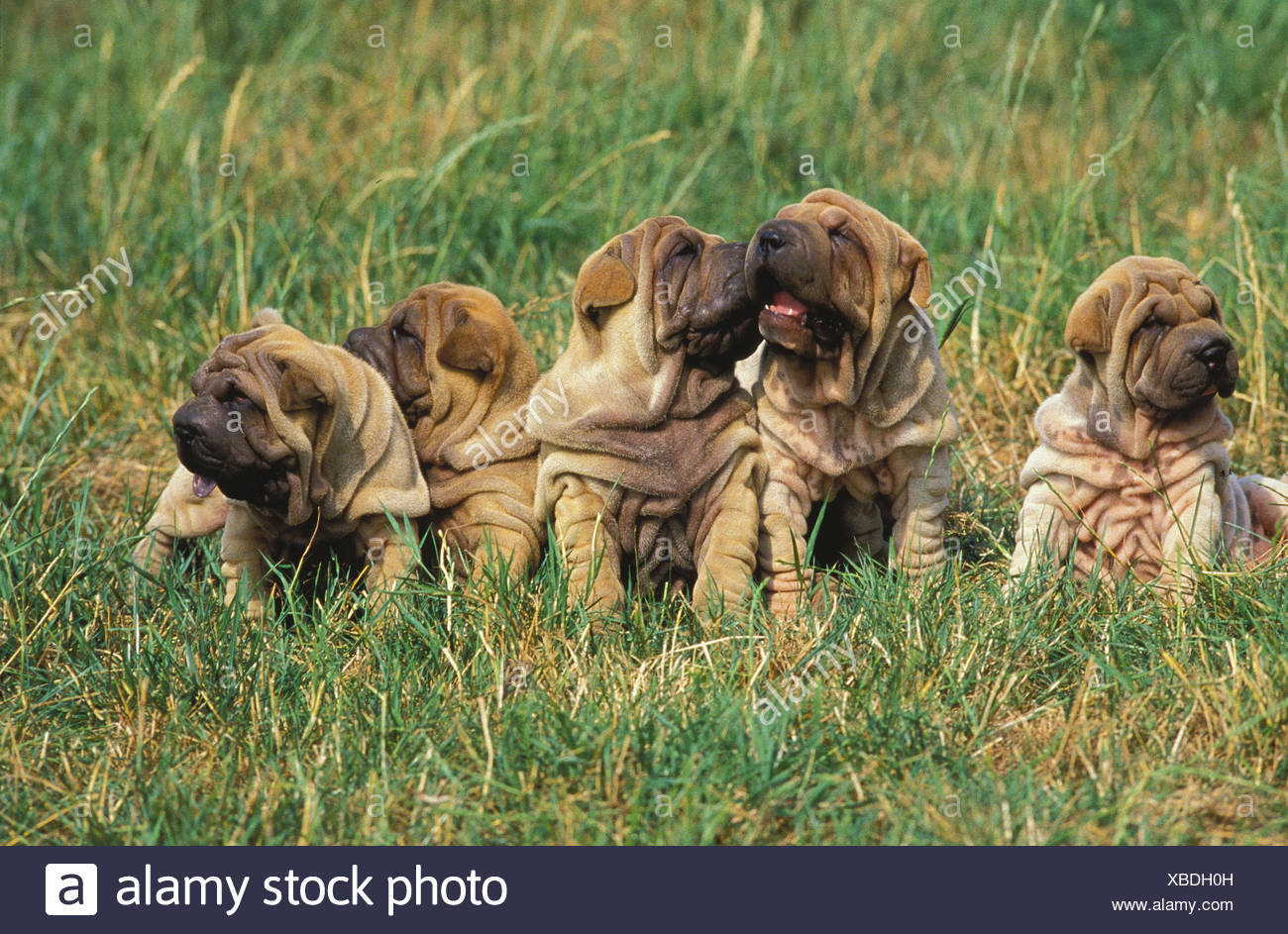 Shar Pei Hunde, puppies, meadow, sit, - Stock Image