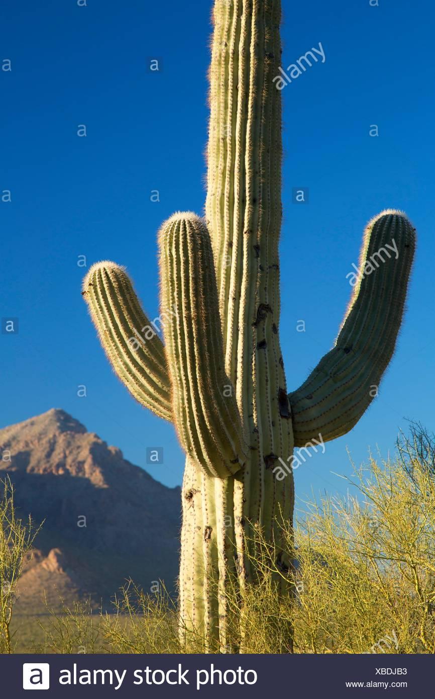 Saguaro, Picacho Peak State Park, Arizona. - Stock Image