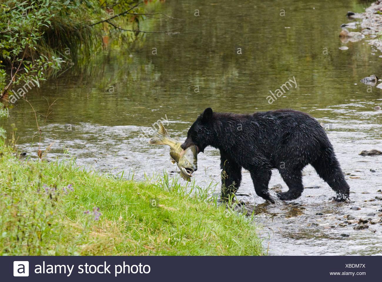 Adult Black bear (Ursus americanus) with Chum salmon it has just caught, Fish Creek, Tongass National Forest, Alaska, USA - Stock Image
