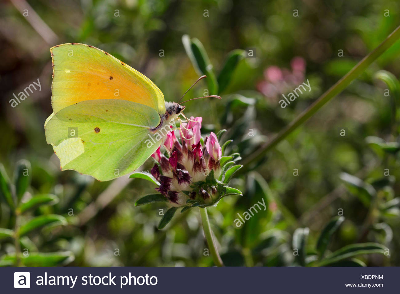 Cleopatra butterfly (Gonepteryx cleopatra), male at Anthyllis - Stock Image