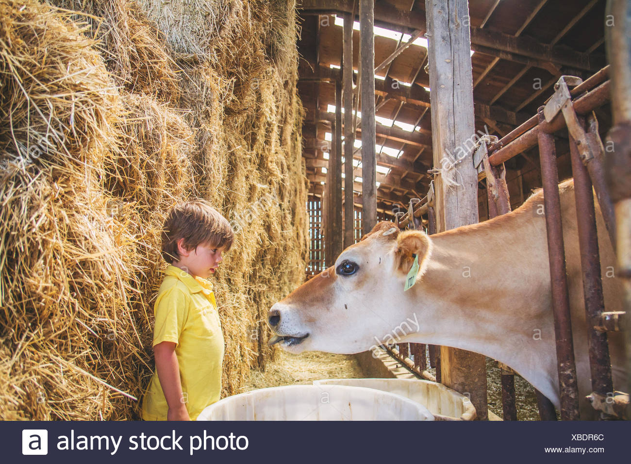Boy on farm with a cow - Stock Image