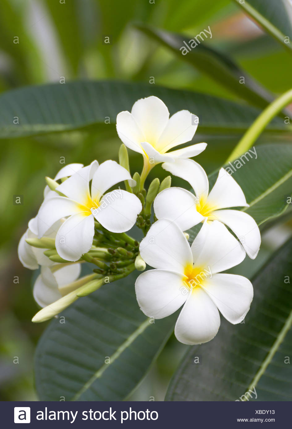 Beautiful white flower in thailand, Lan thom flower - Stock Image