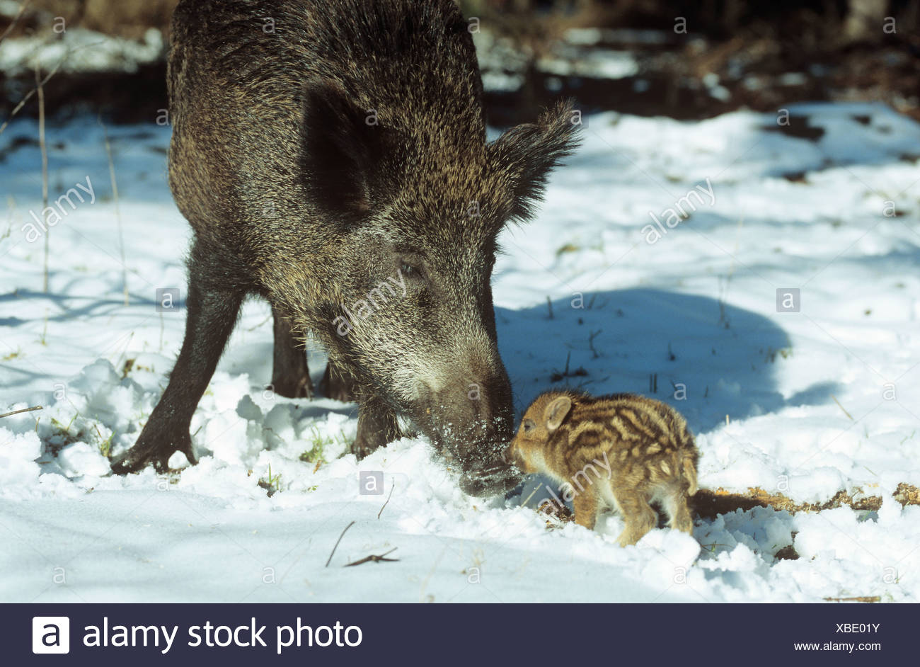 wild boar pig wild sow with shoat in snow Sus scrofa - Stock Image