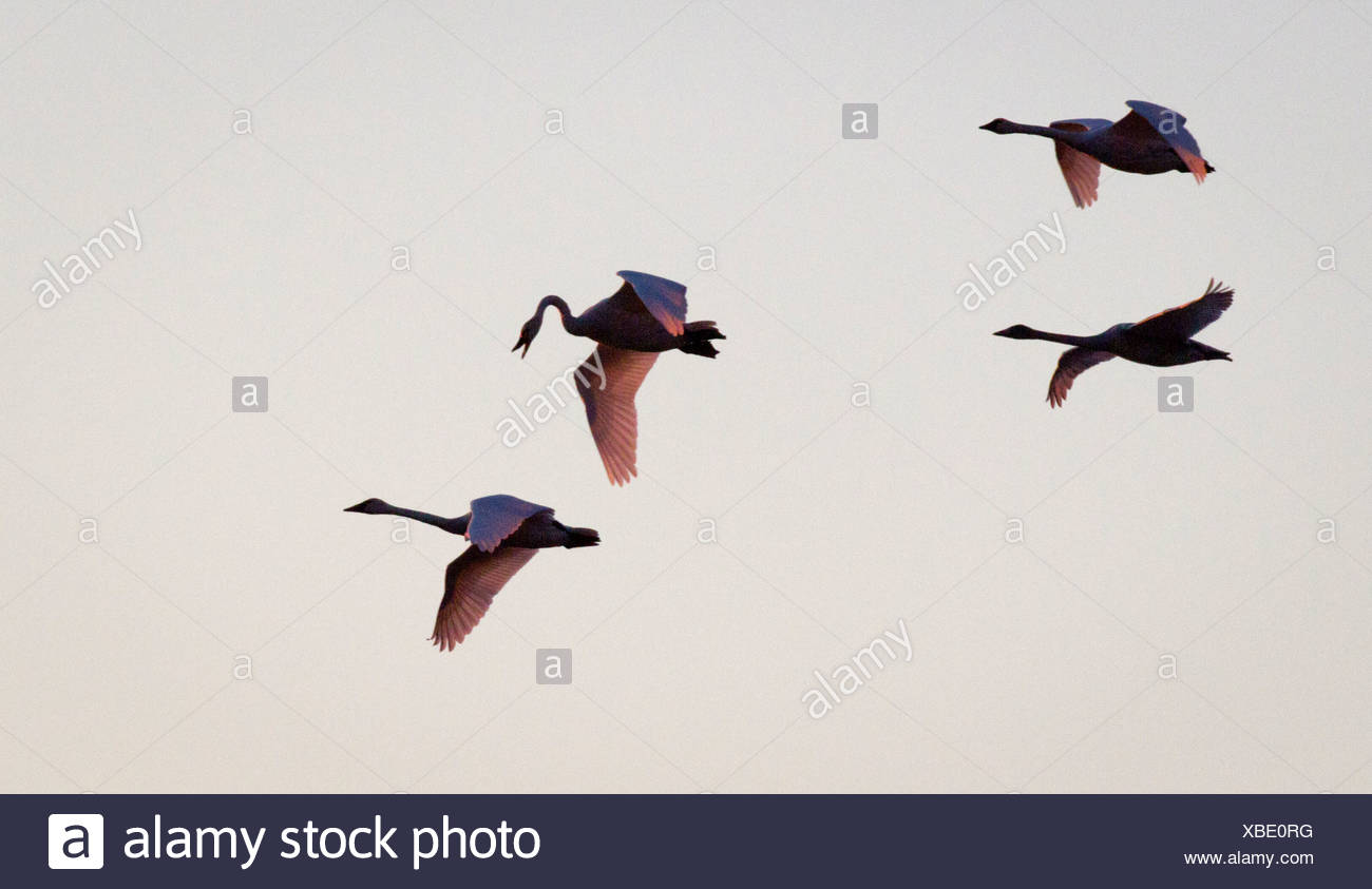 Trumpeter swans fly thru the sky above Potter Marsh near Anchorage during Autumn migration, Southcentral Alaska - Stock Image