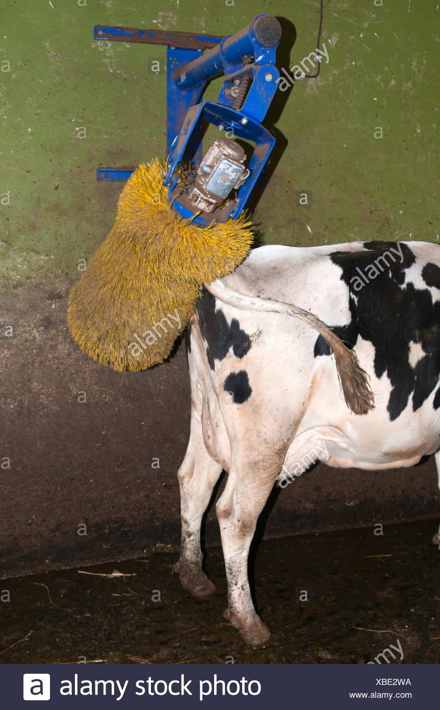 domestic cattle (Bos primigenius f  taurus), cow using the