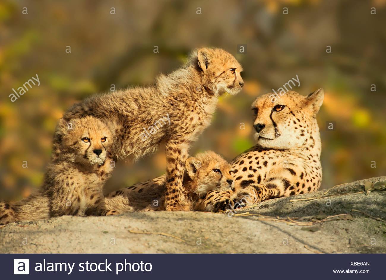 cheetah family 1 - Stock Image