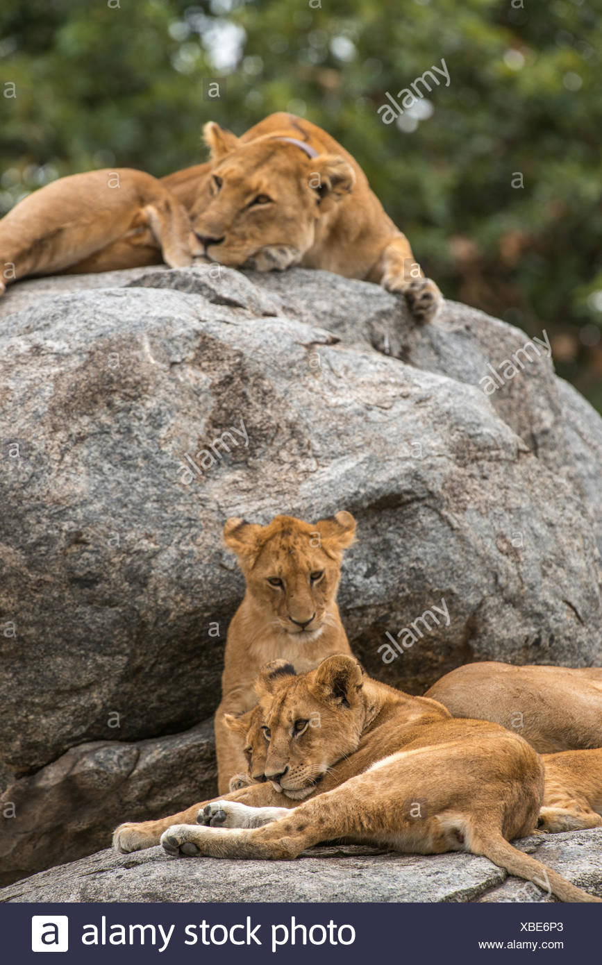 Lioness, Panthera leo, resting on a rock with her cubs. Stock Photo