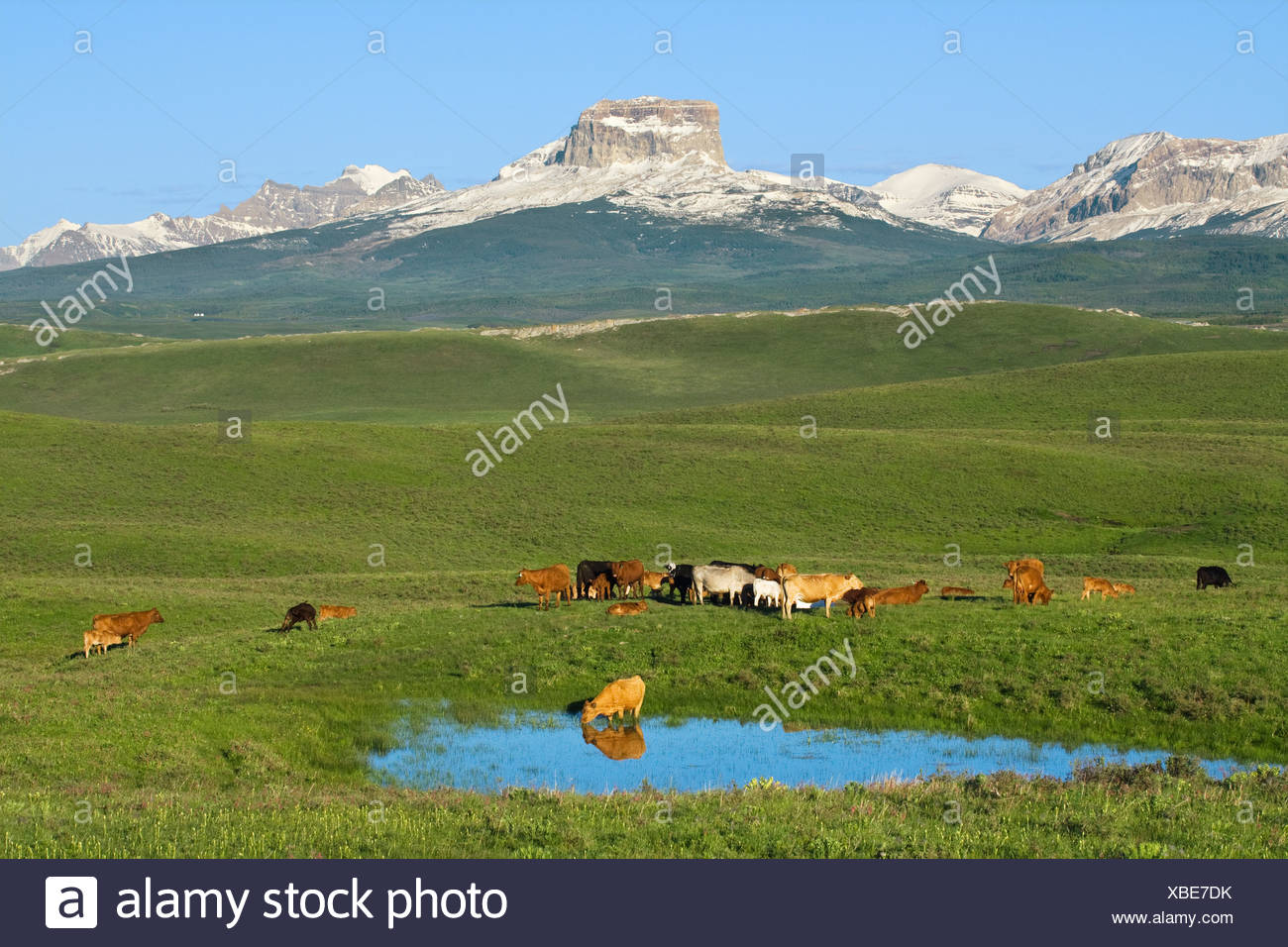 Mixed breeds of beef cows and calves assemble beside a pond after sunrise in a foothills pasture near Canadian Rockies / Canada. - Stock Image