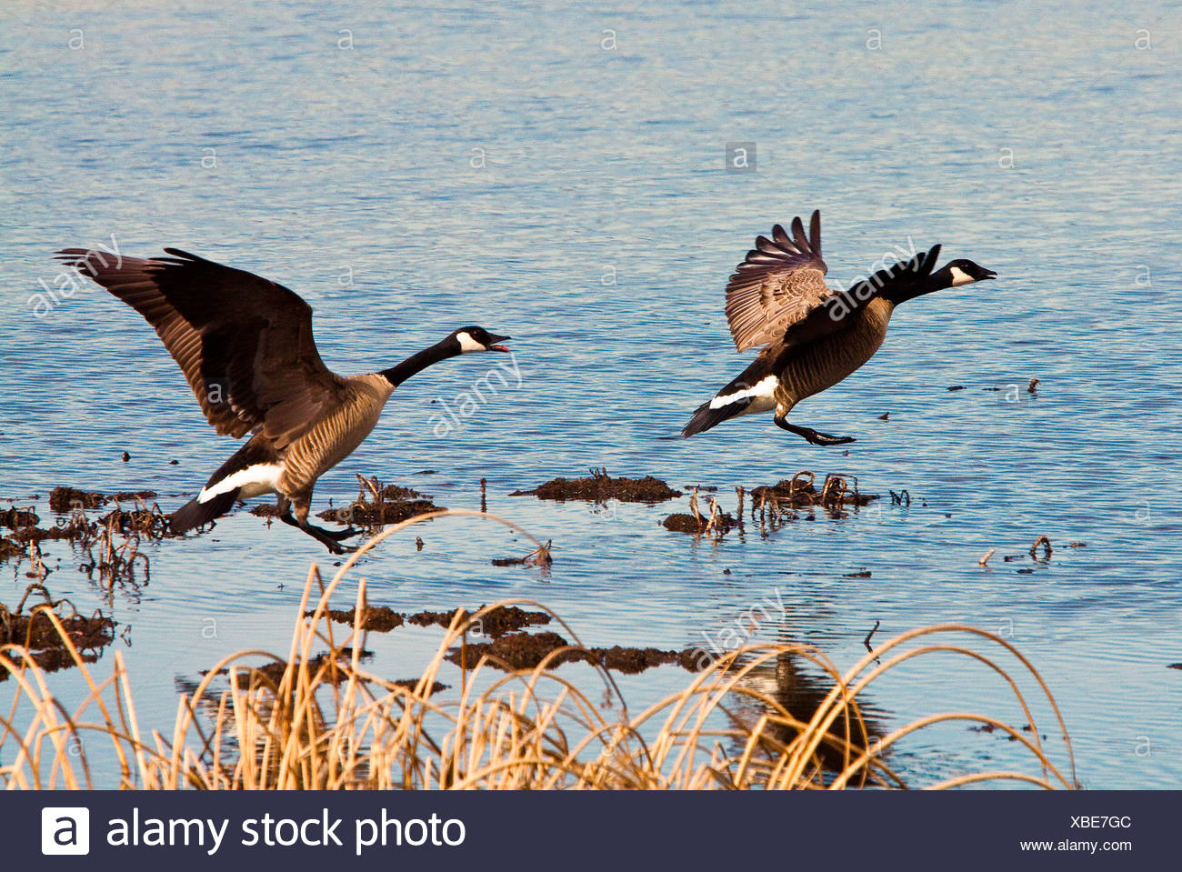 Two Canadian Geese fllying off of Potter Marsh - Stock Image