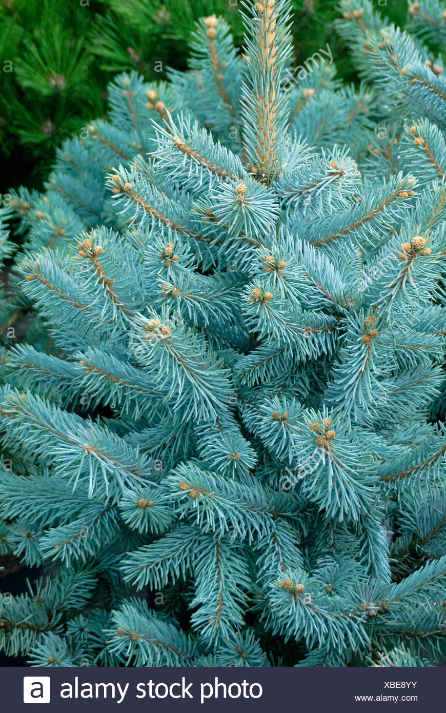Colorado blue spruce (Picea pungens 'Hoopsii', Picea pungens Hoopsii), cultivar Hoopsii, Mannheim - Stock Image