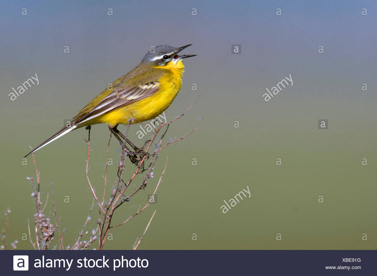 Yellow wagtail (Motacilla flava), sitting on a twing singing, Austria, Burgenland, Neusiedler See National Park - Stock Image