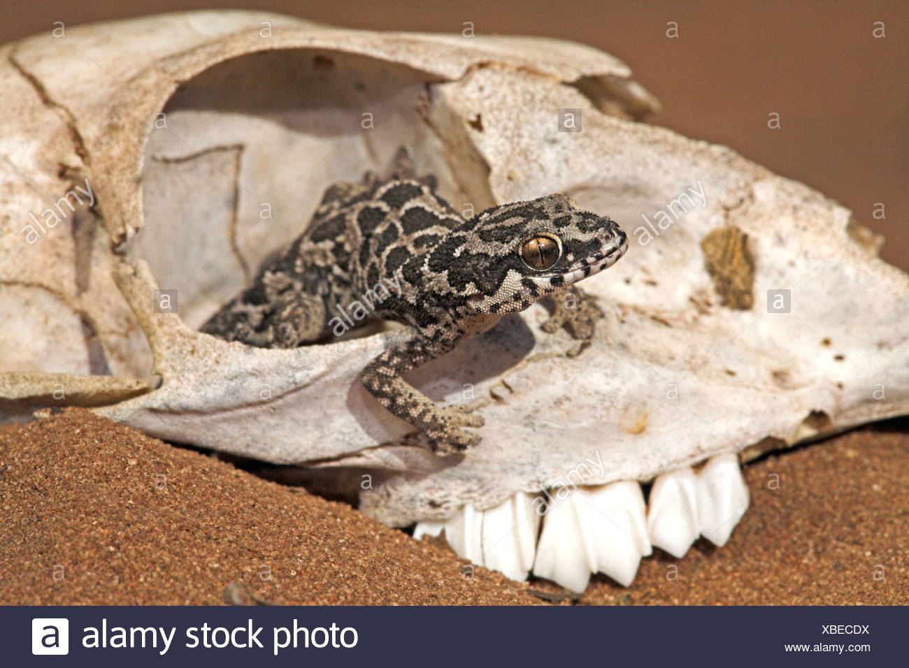 cute photo of a spotted thick-toad gecko that uses a skull to hide in Stock Photo