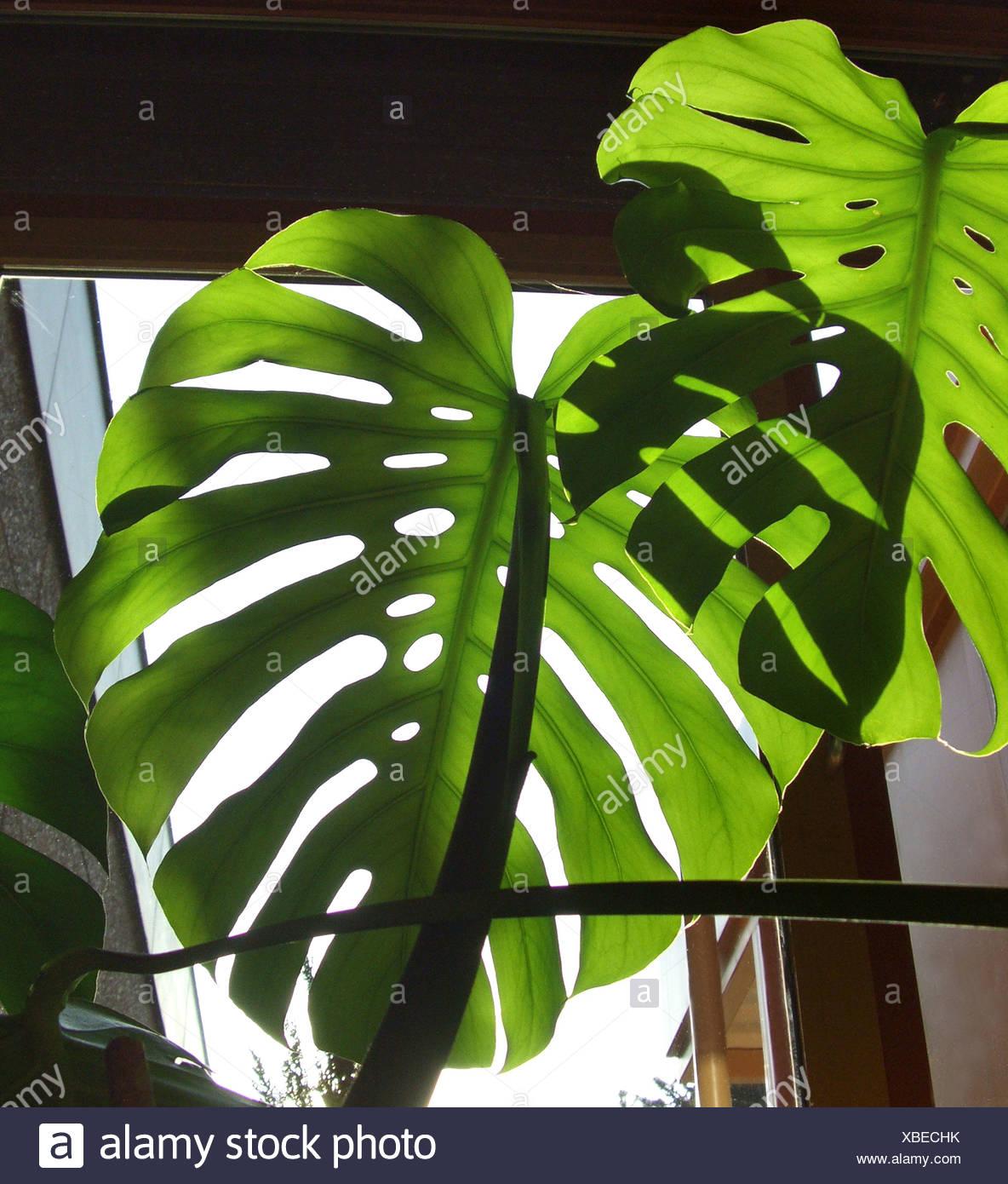 Ceriman, Swiss cheese plant, Split-leaf philodendron, Window-leaf