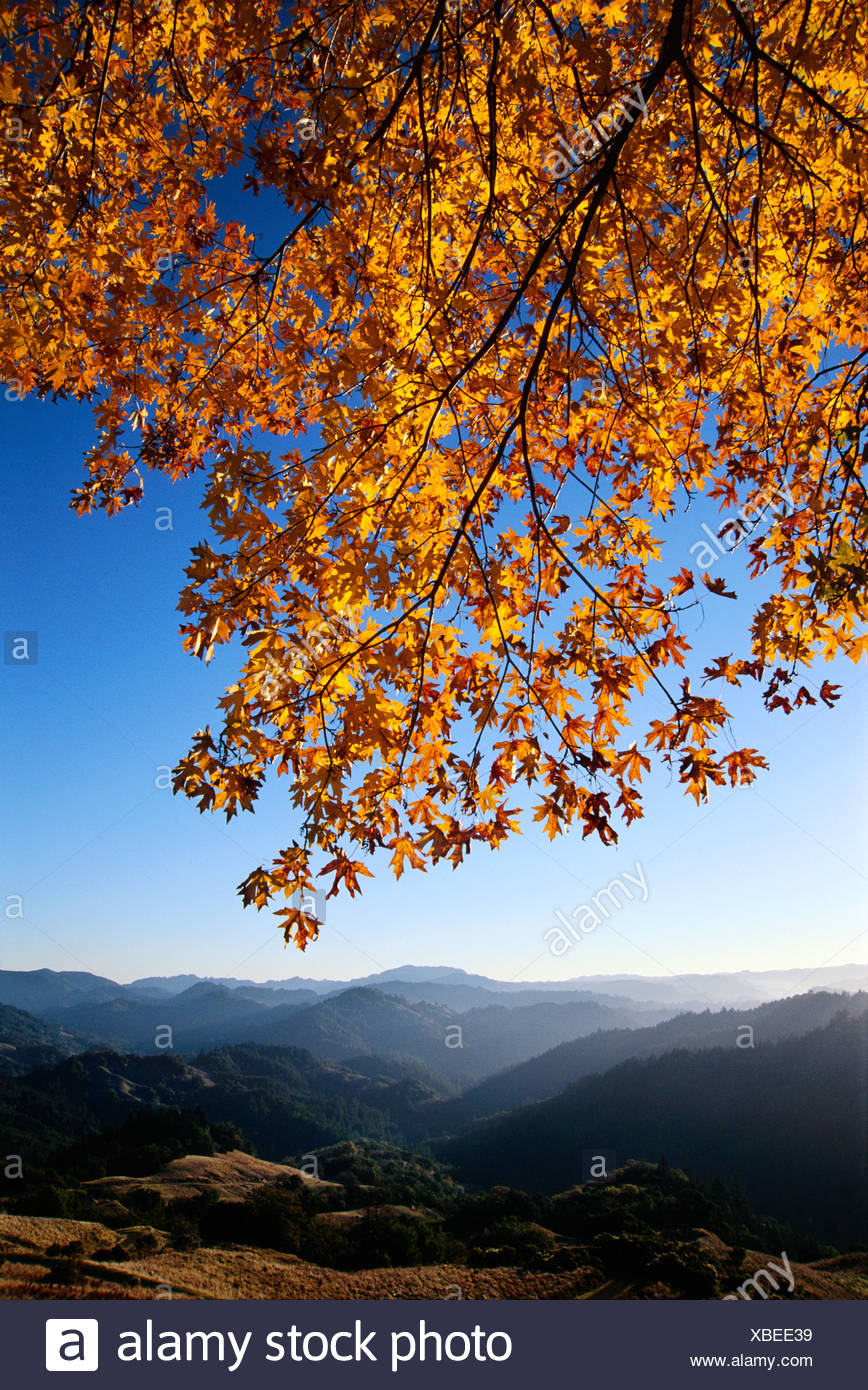 landscape, maple tree in fall color in Austin Creek State Park - Stock Image