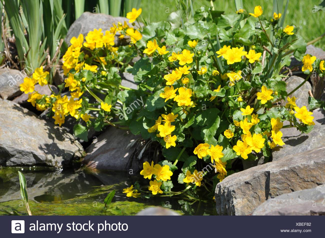 Yellow blossoms of Caltha Stock Photo