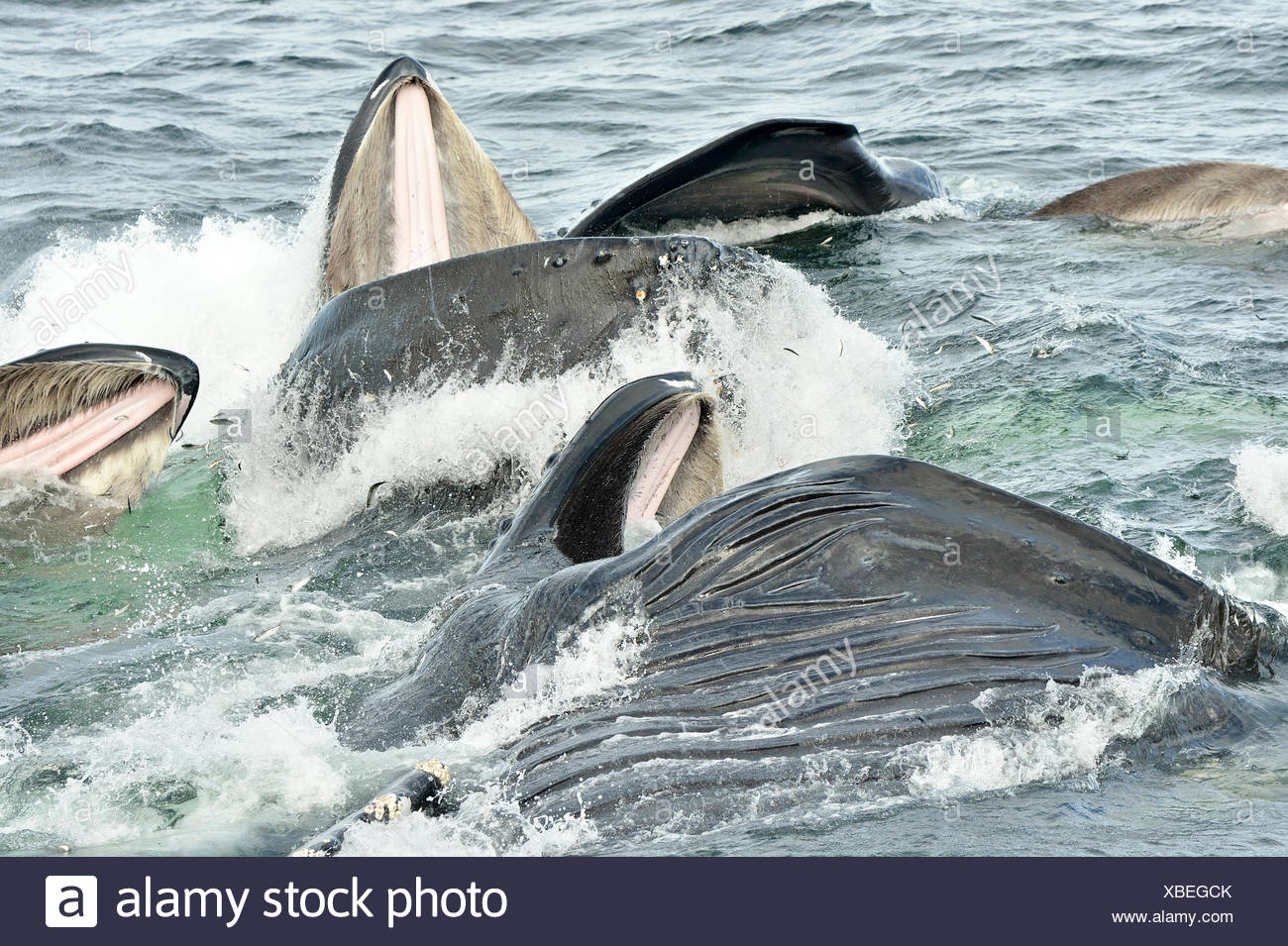 Close-up of the baleen's of Humpback whales breaking the surface as they bubble net feed in the waters near Catherine Island, - Stock Image
