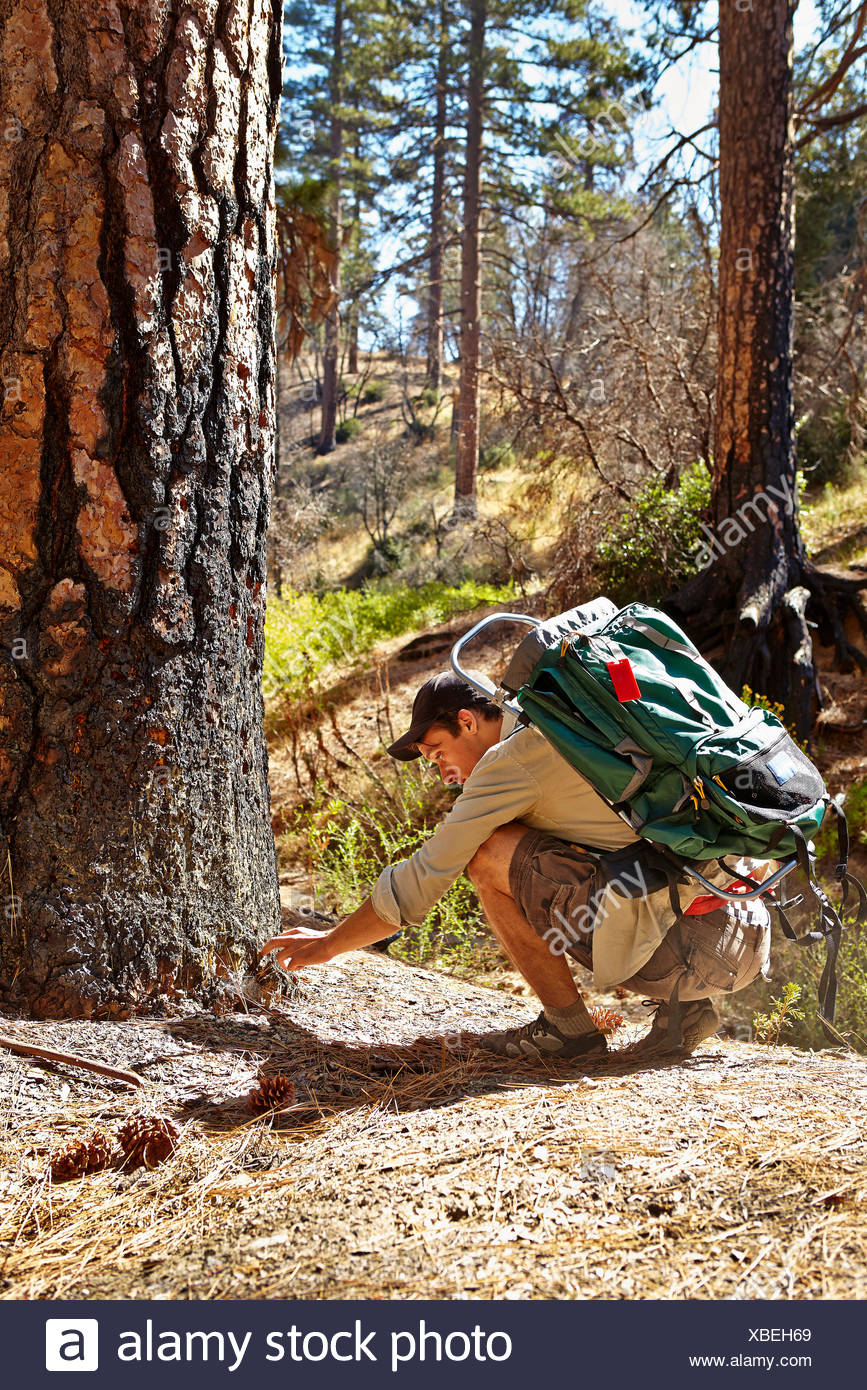 Young male hiker examining burnt tree in forest, Los Angeles, California, USA - Stock Image