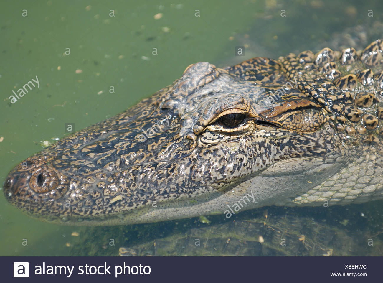 Alligator - Stock Image