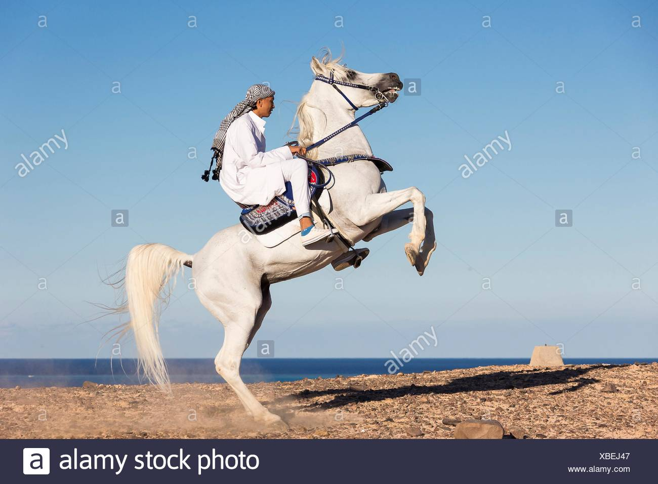 Arabian Horse Gray Stallion Rearing In The Desert With Rider In Traditional Dress Egypt Stock Photo Alamy