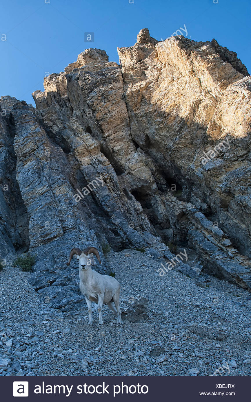 Dall's sheep, one of many animals that call this critical wilderness watershed home. These Dall's sheep, were surprisingly receptive to people. Most sheep in the watershed don't let you get near them. - Stock Image