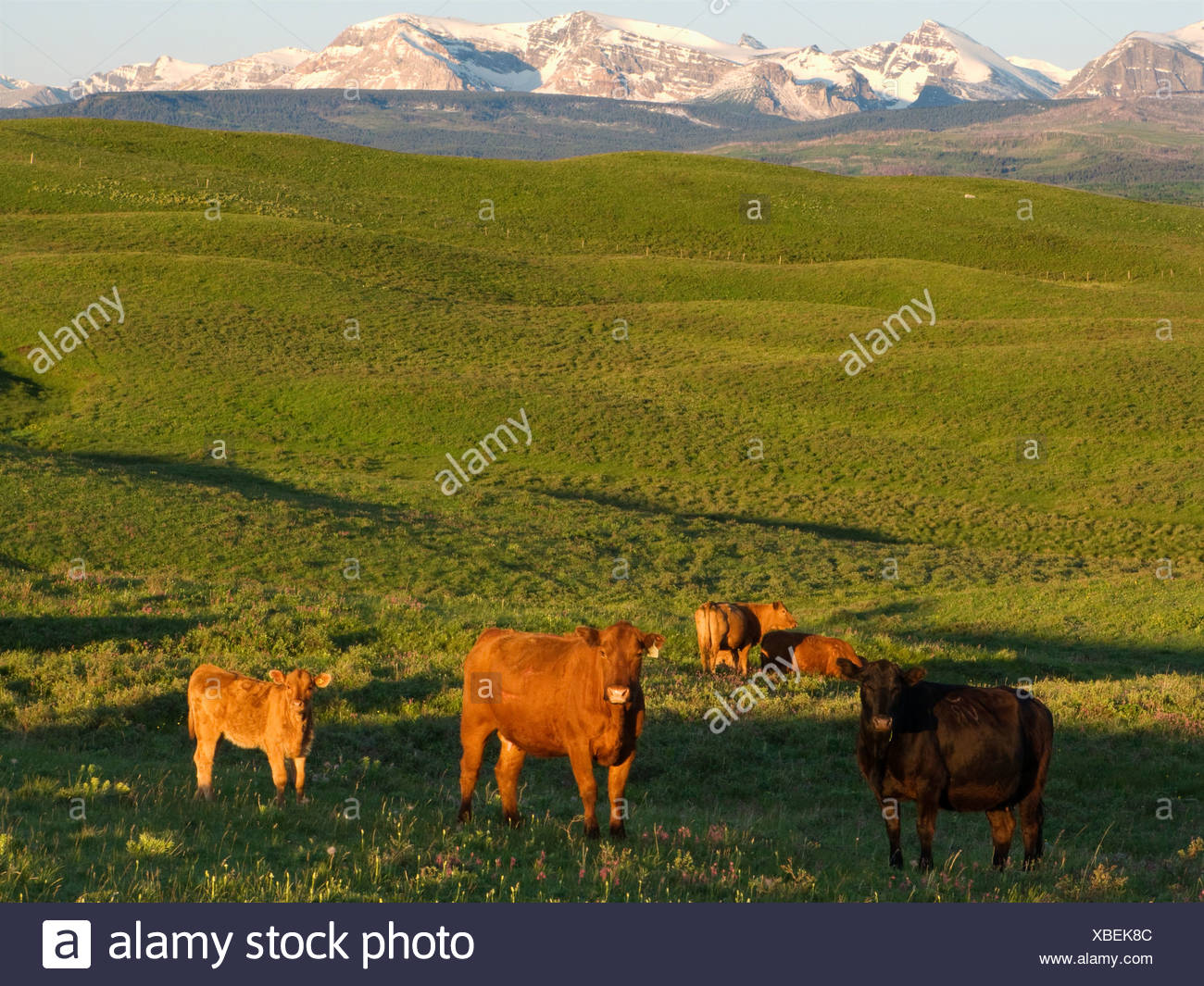 Red and black Angus cows and calves gathered at a prairie water pothole at sunrise on a foothill pasture / Alberta, Canada. - Stock Image