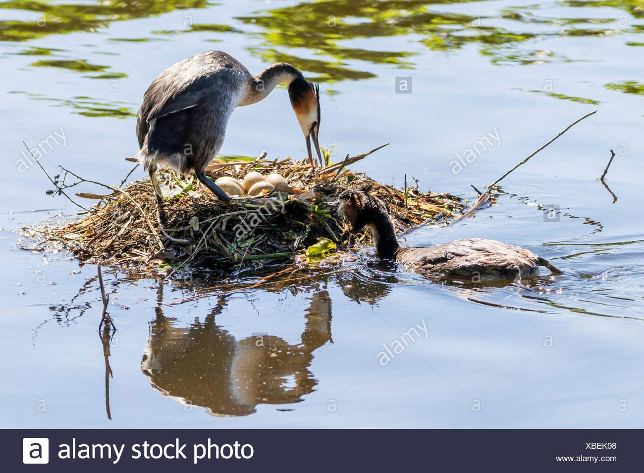 Haubentaucher, Hauben-Taucher (Podiceps cristatus), am Nest mit Eiern, Deutschland   great crested grebe (Podiceps cristatus), a - Stock Image