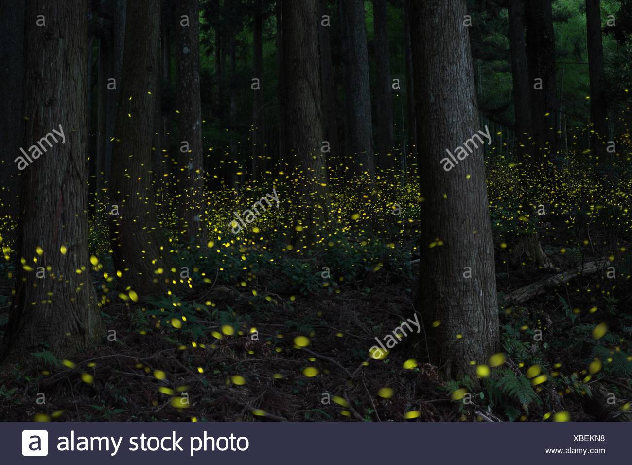 View Of Fireflies Glowing Amidst Trees In Forest - Stock Image