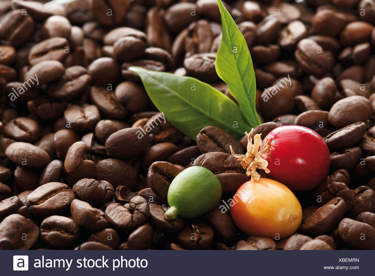 Freshly picked coffee beans on coffee beans at different stages of roasting Stock Photo