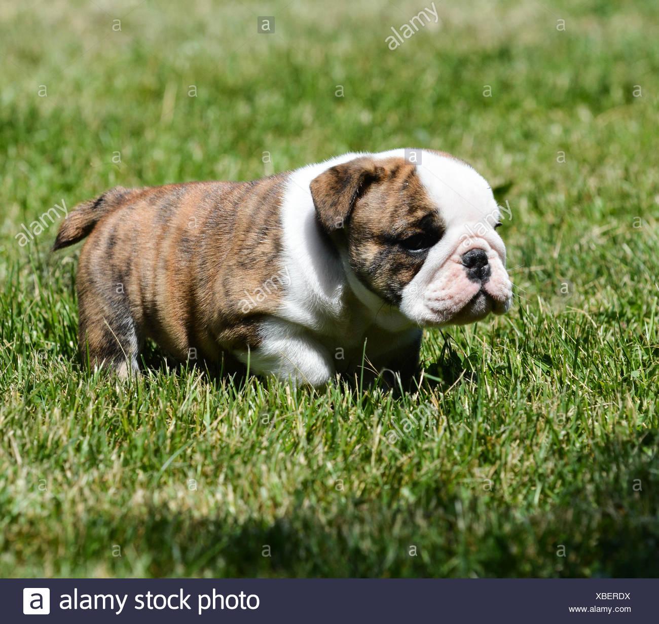 Cute English Bulldog Puppy In The Grass Stock Photo Alamy