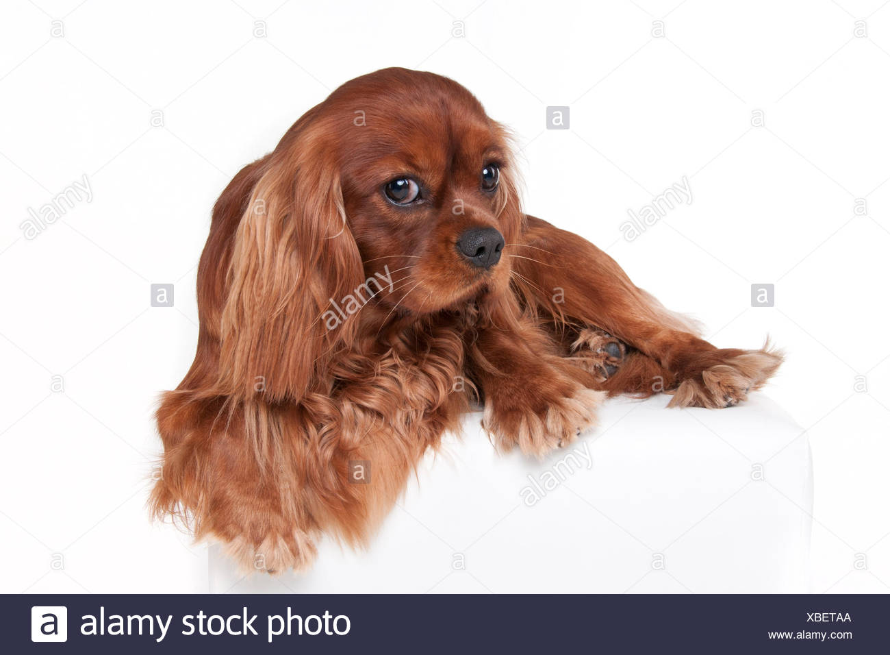 King Charles Spaniel Cut Out Stock Images   Pictures - Alamy 4eae2af2ac