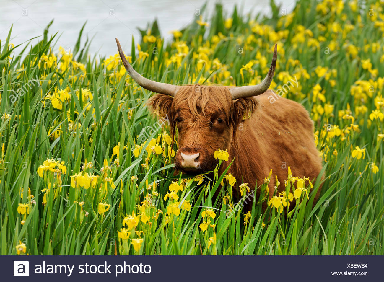 Scottish Highland Cattle, Kyloe (Bos primigenius f. taurus), in a population of yellow iris (Iris pseudacorus), Germany - Stock Image