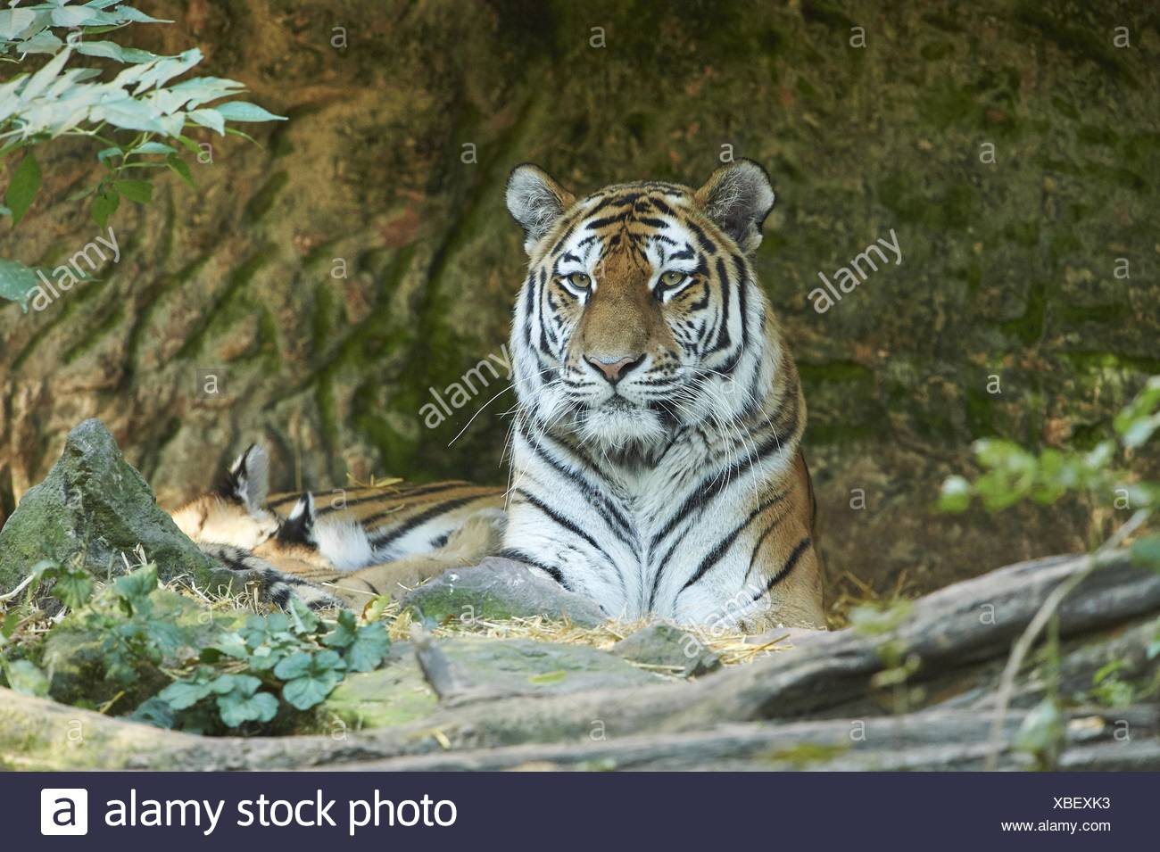 Amur tiger - Stock Image