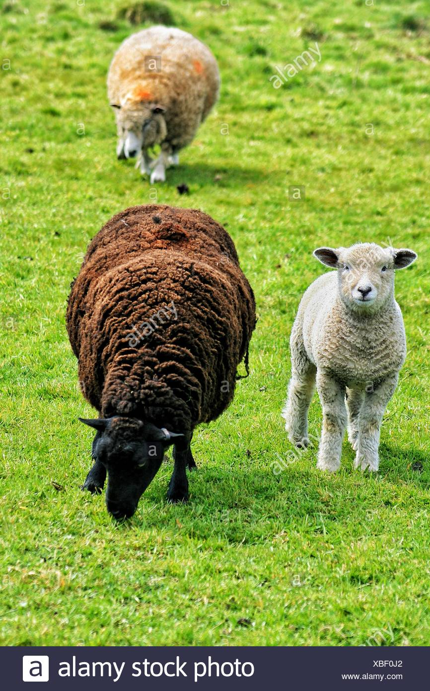 Sheep And Lamb On Grassy Field Stock Photo