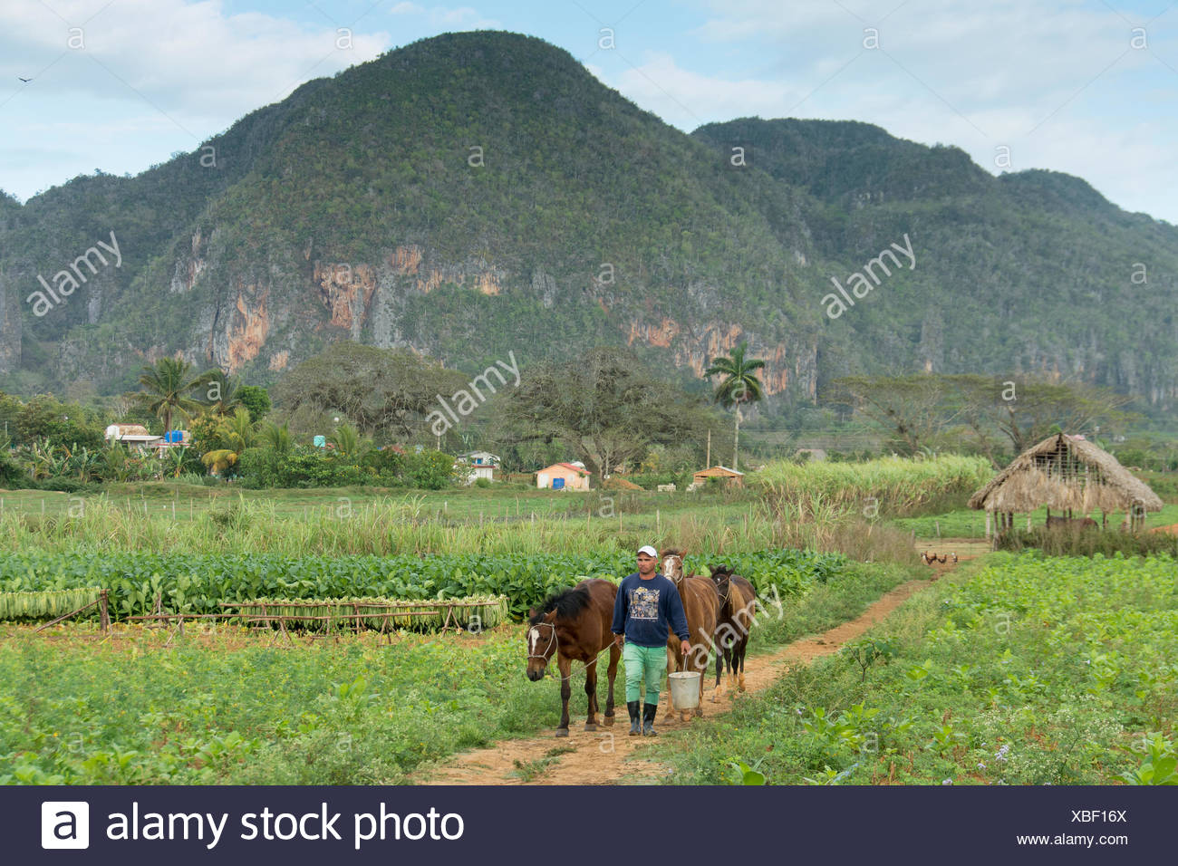 Horse being readied for guests at Tobacco fields, Vinales, Cuba - Stock Image