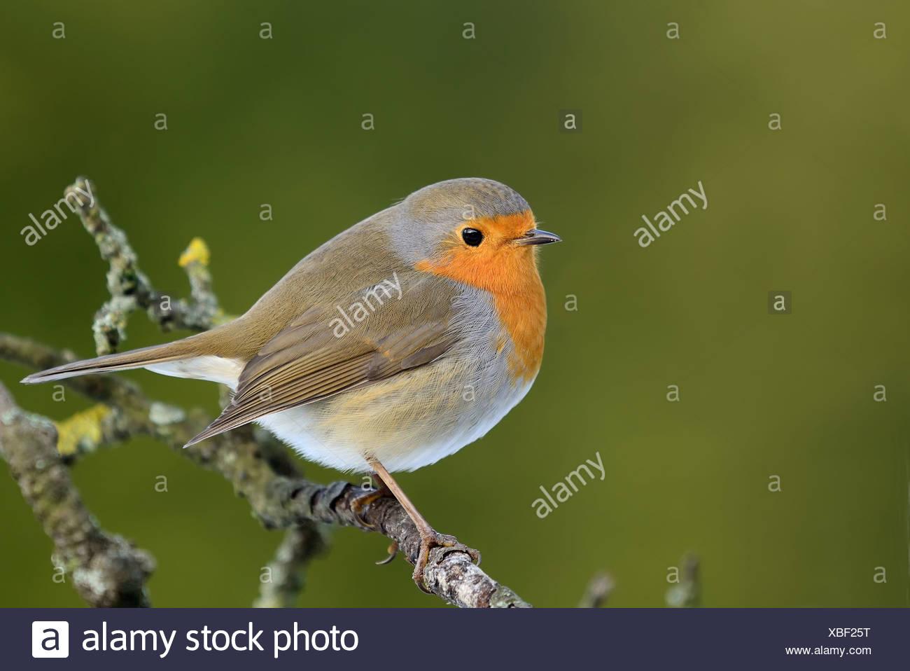 European Robin - Stock Image