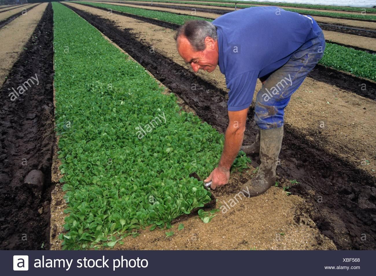 coupe manuelle, agriculture maraichere de mache (Valerianella locusta), region de Nantes, departement de Loire-Atlantique, region Pays de la Loire, Stock Photo