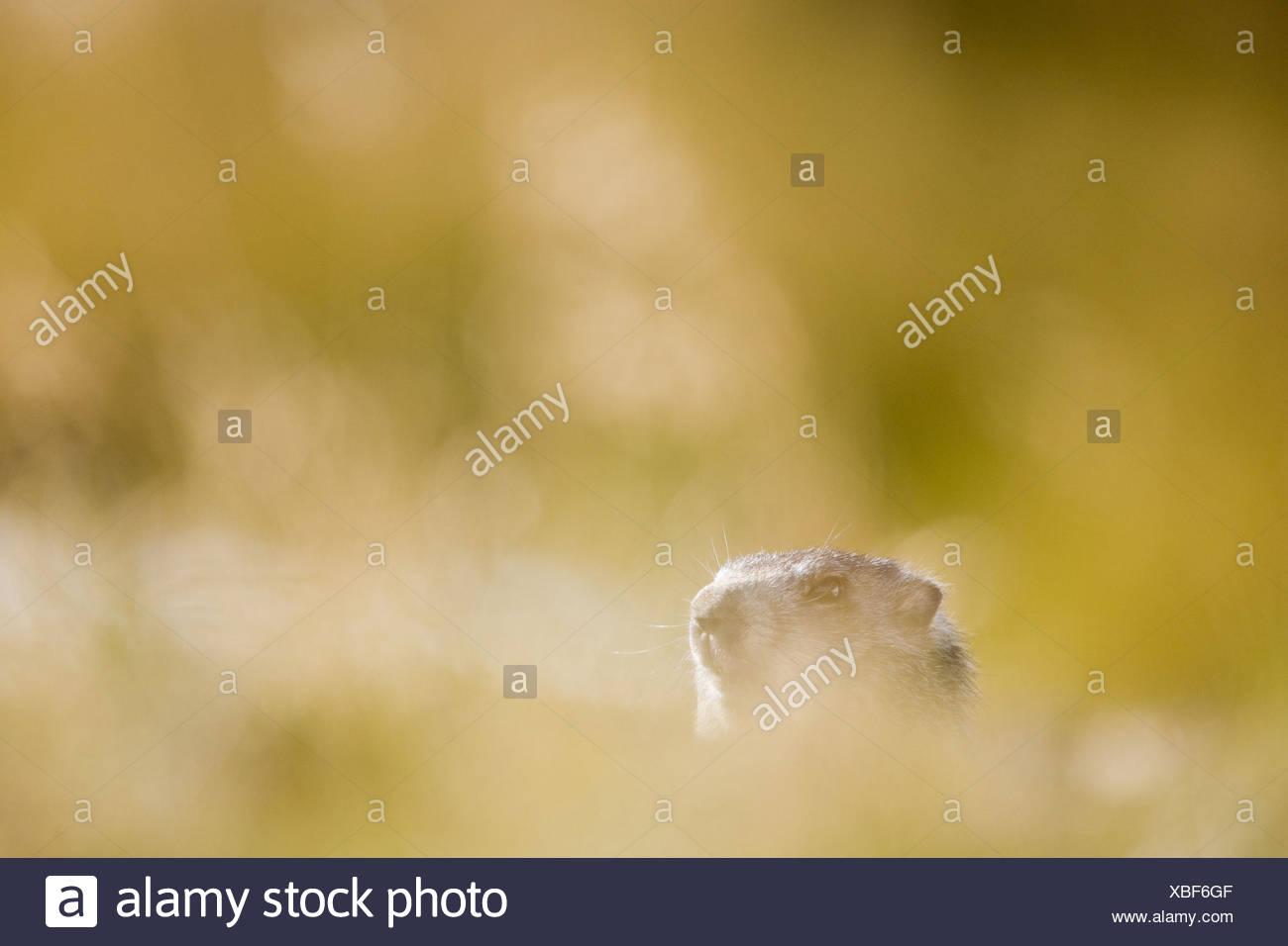Marmot, Marmota marmota, blur, - Stock Image