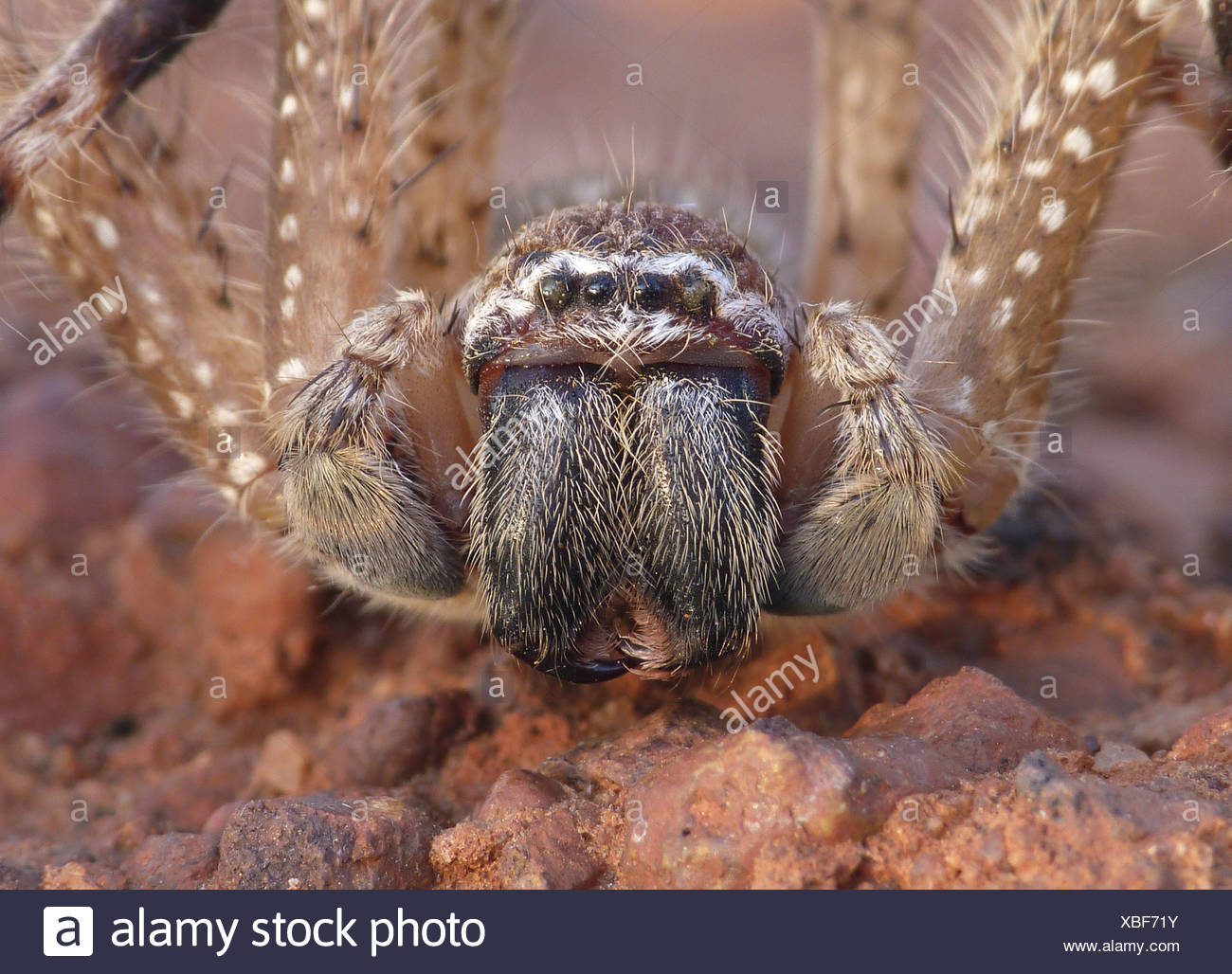 Mountain Huntsman Spider (Isopeda montana) adult, close-up