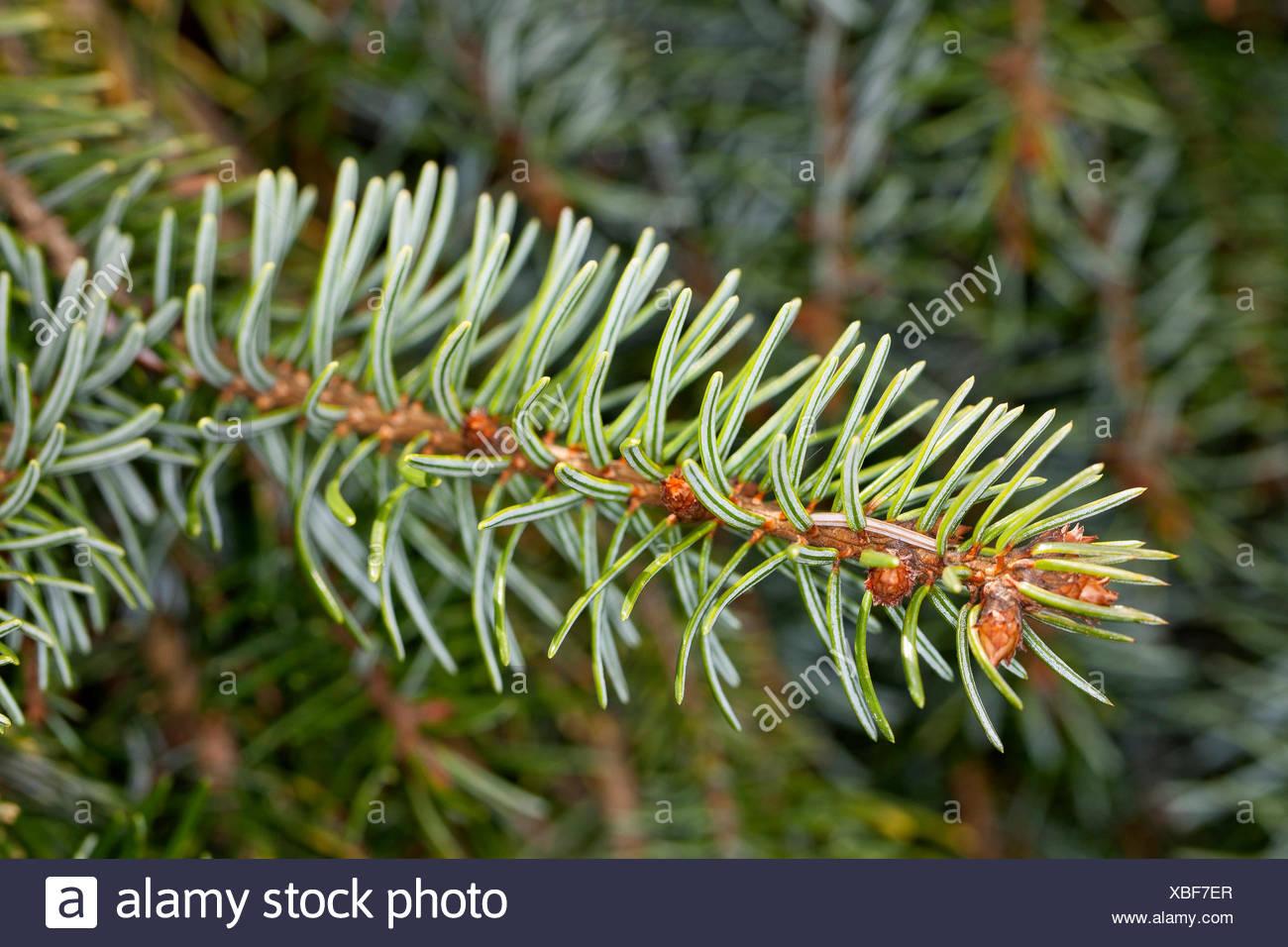 Serbian Spruce (Picea omorika), branch - Stock Image