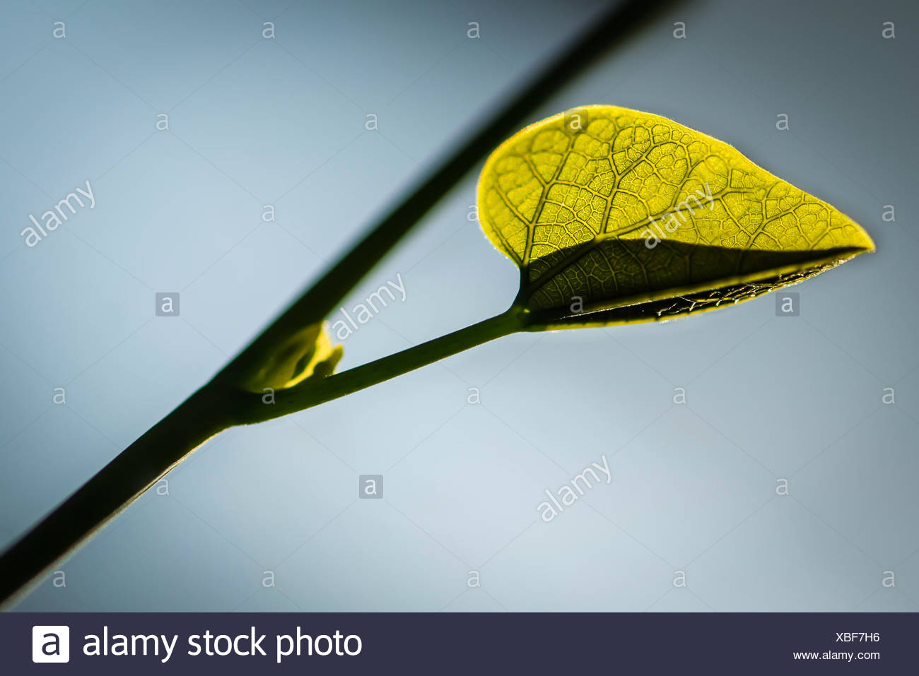 New leaf budding out of vine - Stock Image