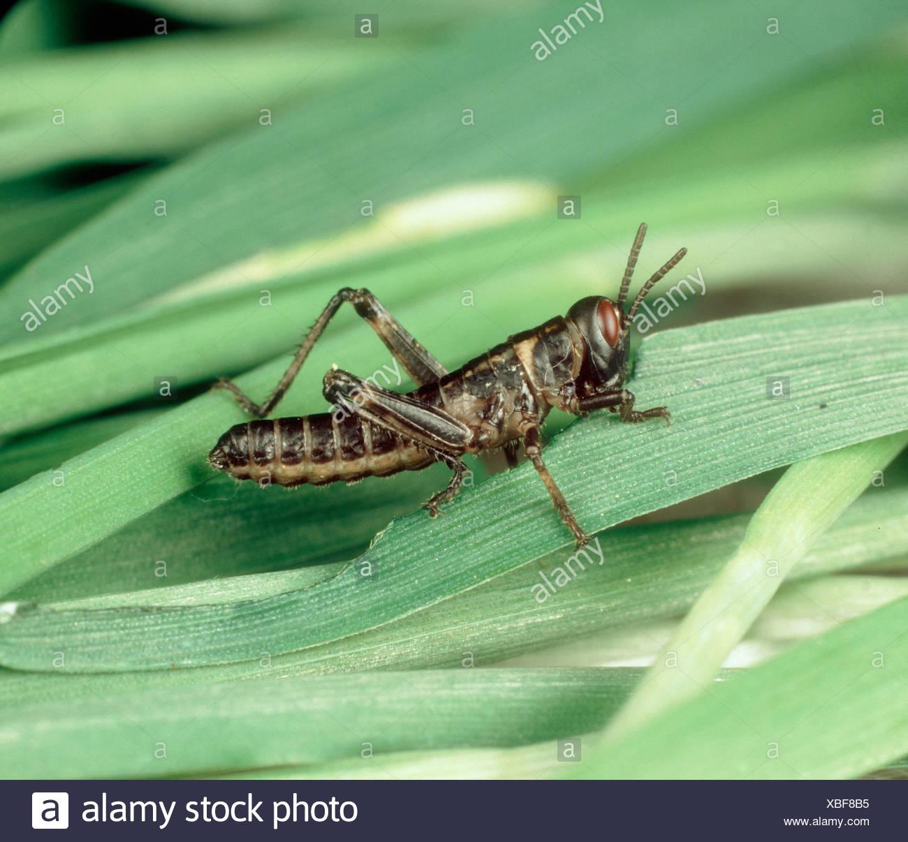 Desert locust Schistocerca gregaria hopper nymph on cereal leaves - Stock Image