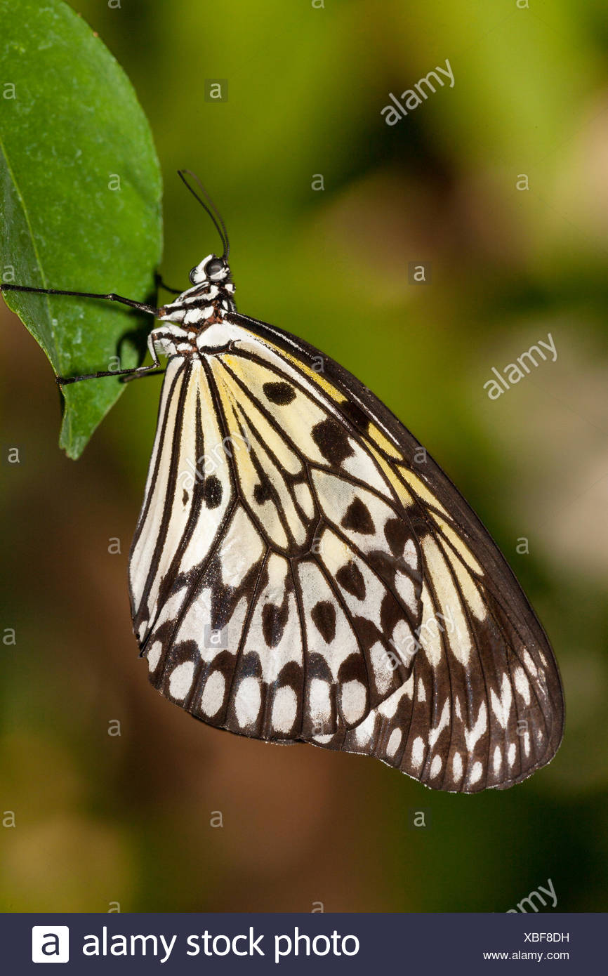 Large Tree Nymph Butterfly, (Idea leuconoe), ventral view, Southeast Asian origin. - Stock Image