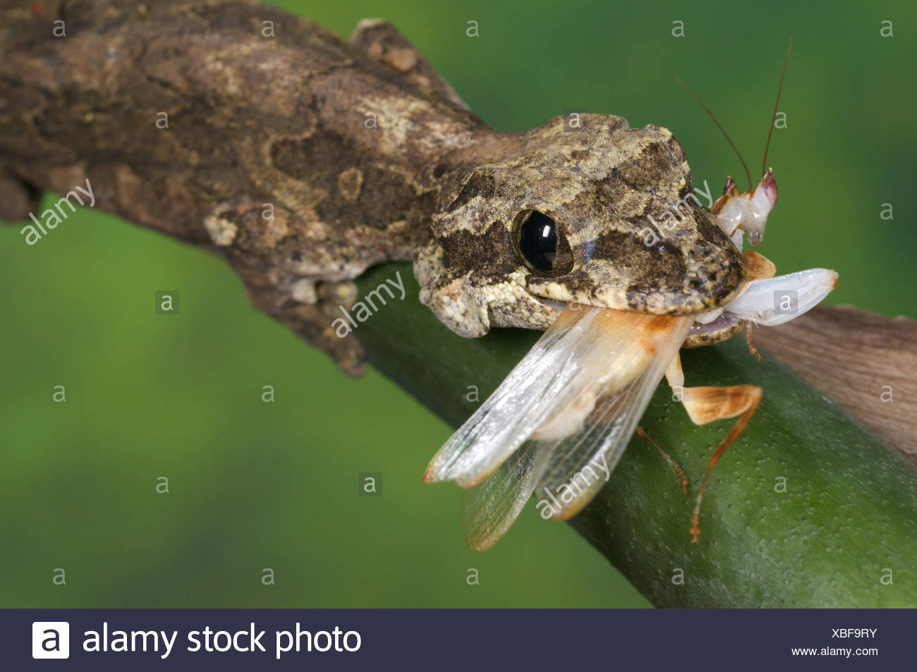Kuhl's Flying Gecko (Ptychozoon kuhli) adult, feeding on orchid mantid, Tropical Asia Stock Photo
