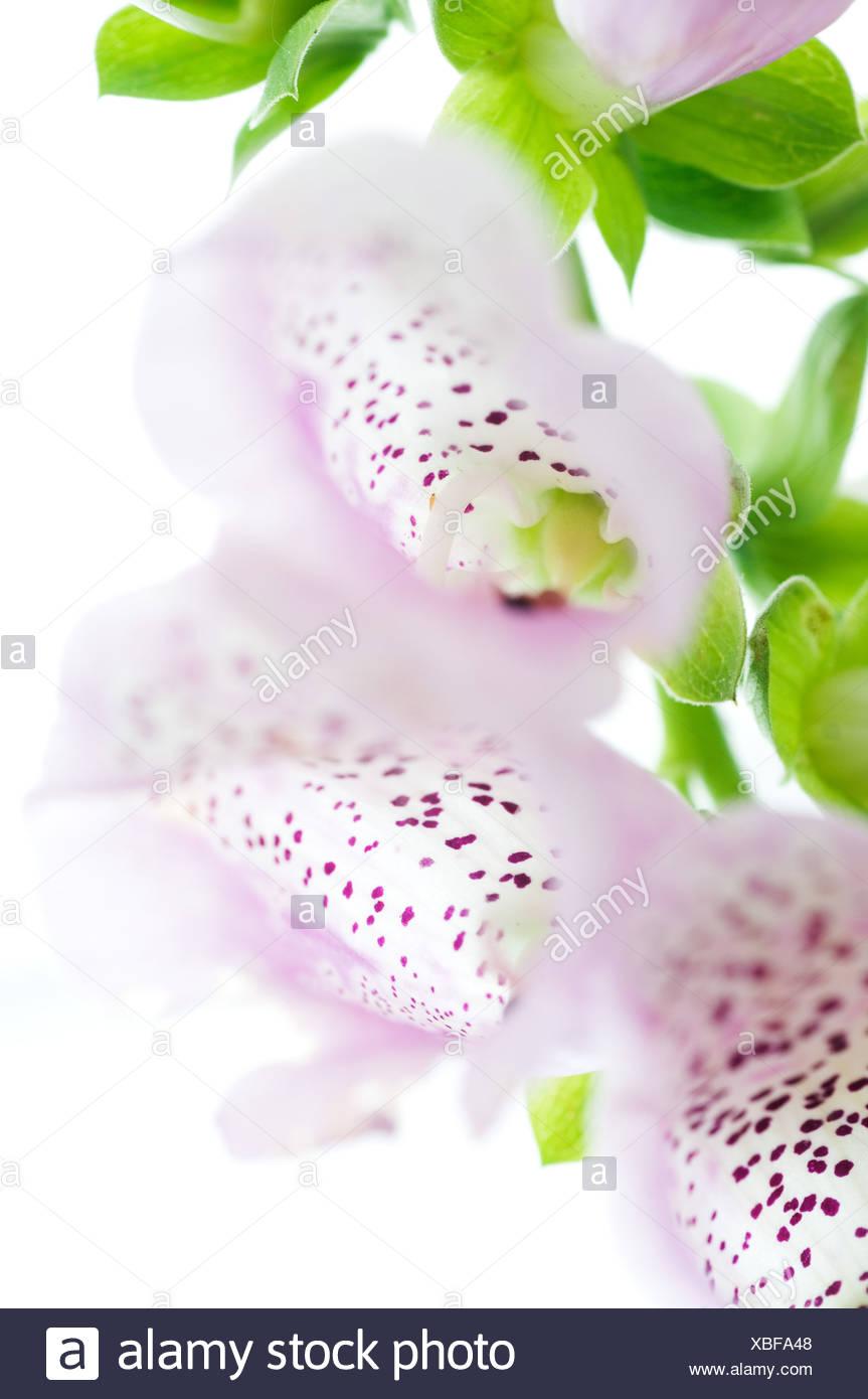 Digitalis (Digitalis Purpurea) - Stock Image